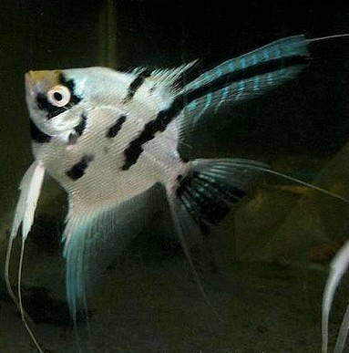 Angelfish - Platinum Streaked - Small